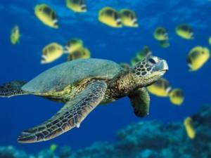 Green-Sea-Turtle-480x360