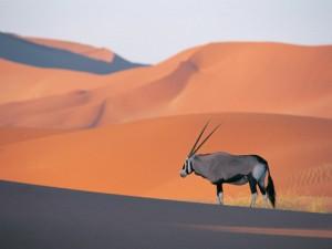 Oryx-Antelope-480x360
